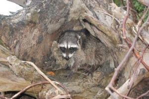 cornered raccoon